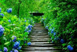 紫陽花寺画像