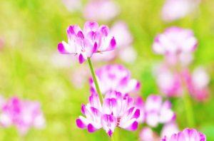 蓮華の花画像