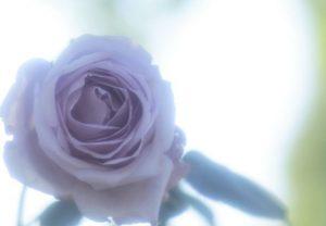 青いバラ画像