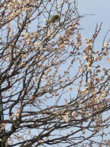 梅の木とウグイス