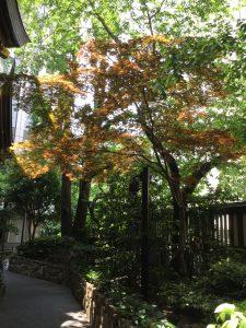 龍のような紅葉の木