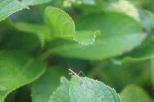 カマキリの幼虫画像