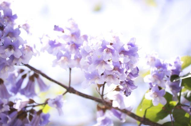 桐の花画像